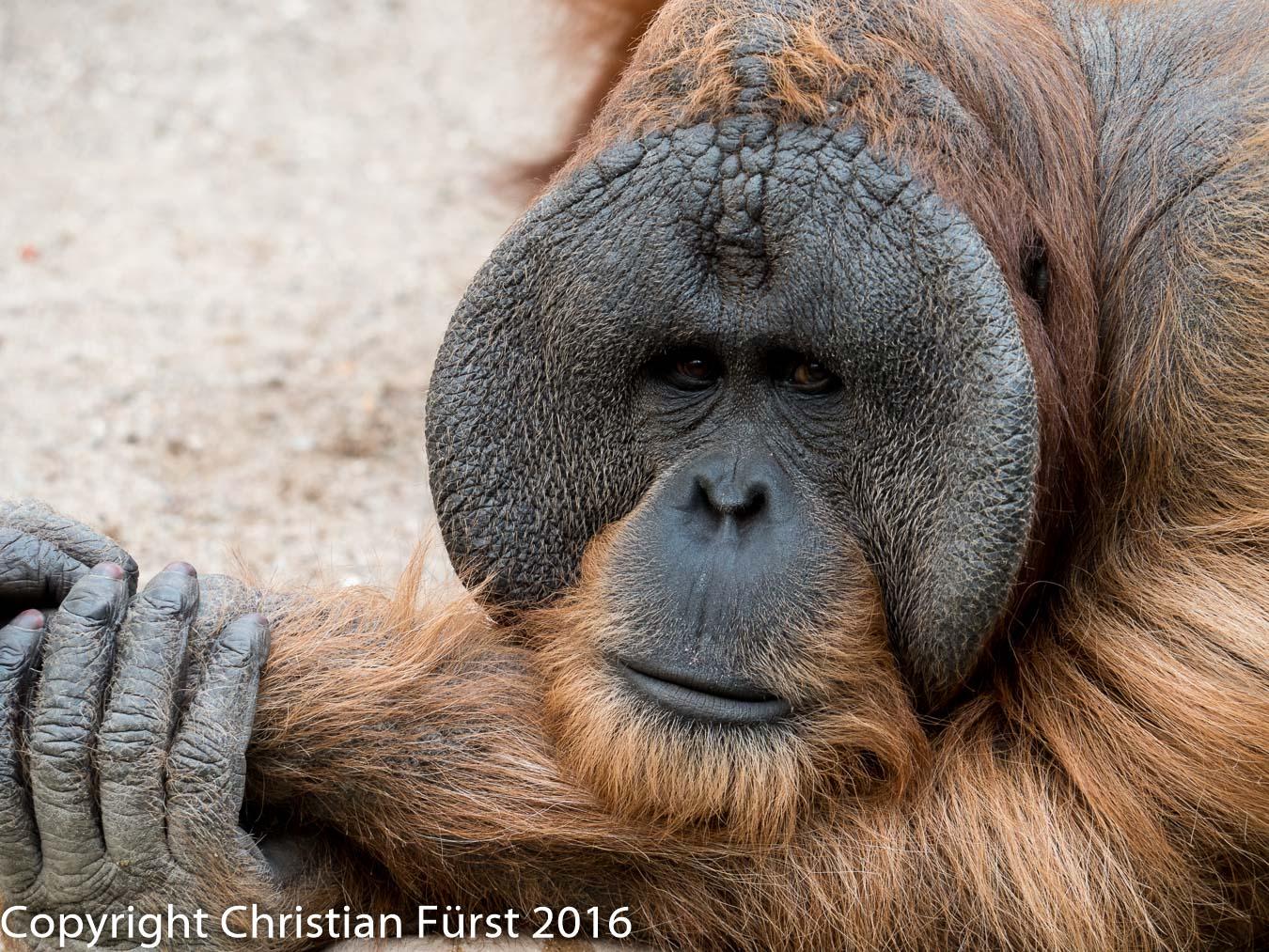 Ein Affenleben bei Hagenbeck